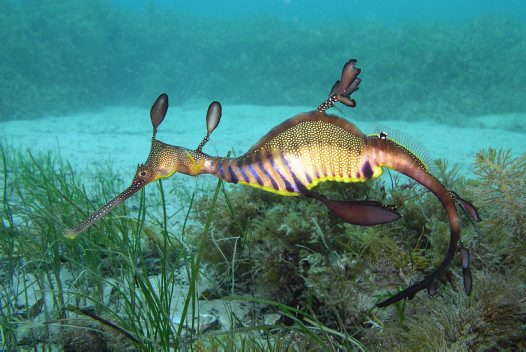 Common Seadragon above seaweed