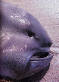 Head of a Megamouth Shark