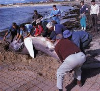 Moving the Mandurah Megamouth Shark