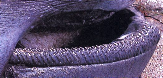 Teeth of a Megamouth Shark