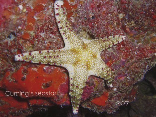 Cuming Seastar