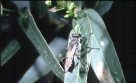 Spider Wasp on leaf