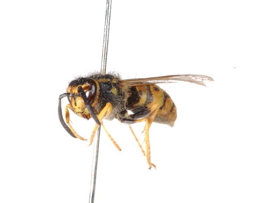 European wasp specimen