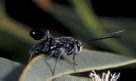Hatchet Wasp