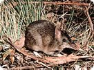 Long-nosed Bandicoot