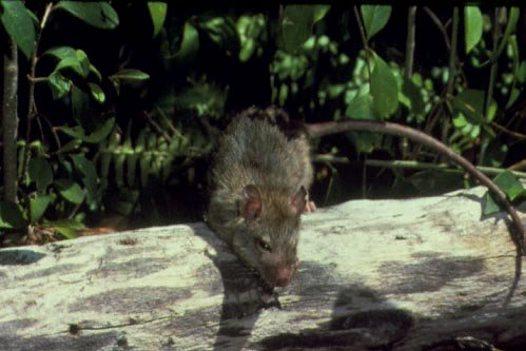 Is It A Rat Australian Museum