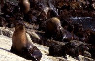 Australian Fur Seal colony