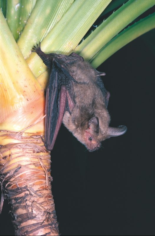 Arnhem Land Long-eared Bat