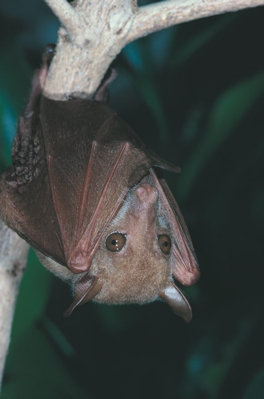 Northern Blossom Bat