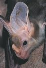 Australian bat photos