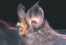 Large-eared Horseshoe Bat
