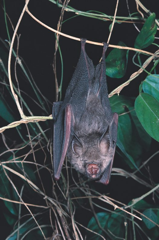 Semon's Leaf-nosed Bat