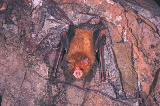 Orange Leaf-nosed Bat