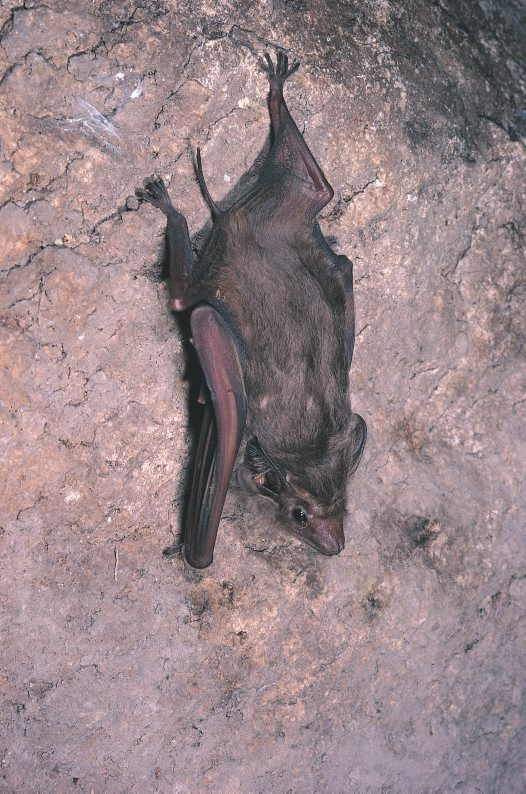 Coastal Sheathtail Bat