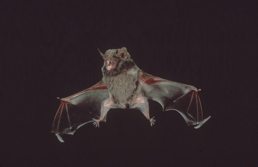 Hill's Sheathtail Bat