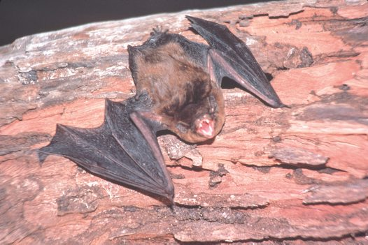 Chocolate Wattled Bat