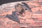 Bats of New South Wales