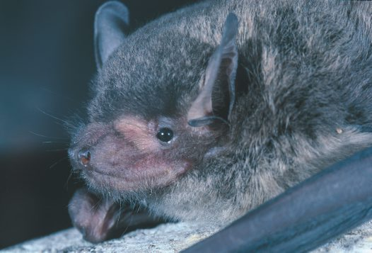 Northern Broad-nosed Bat