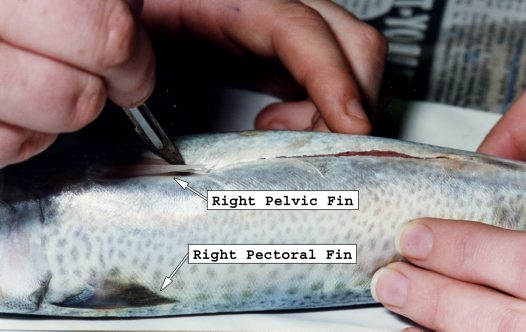 Fish Dissection - Cut between pelvic fins