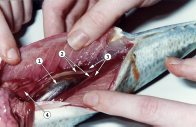 Fish Dissection - Pull gut forward