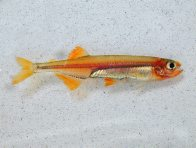 An Australian Smelt, caught in Maguires Creek
