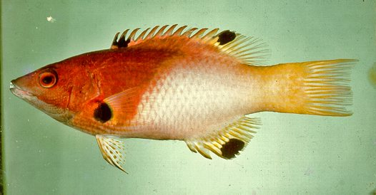 An Axilspot Hogfish caught at Guam