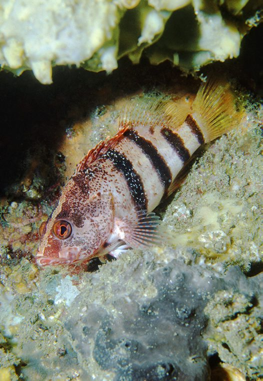 A Banded Seaperch at Shiprock, Port Hacking