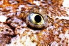 Eye of a juvenile Banded Wobbegong