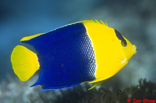 A Bicolor Angelfish at North Solitary Island