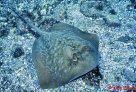 Bluespotted Maskray at North Solitary Island