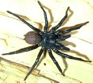 Southern Tree Funnel-web Spider