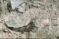 A segmented spider emerging from burrow