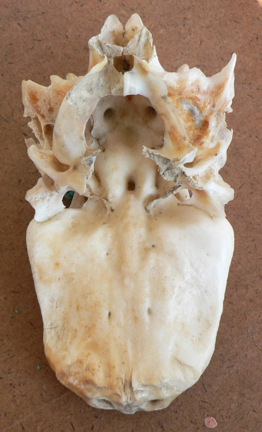 Skull of a Barred Javelin - ventral view