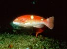 Foxfish, Bodianus frenchii