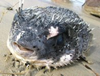 Black-spotted Porcupinefish at Evans Head