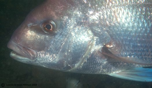 Snapper, Pagrus auratus, at Port Stephens