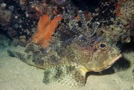 A Bighead Gurnard Perch at Noarlunga Tyre Reef
