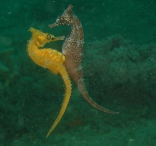 Female White's Seahorse, depositing eggs in the male's pouch