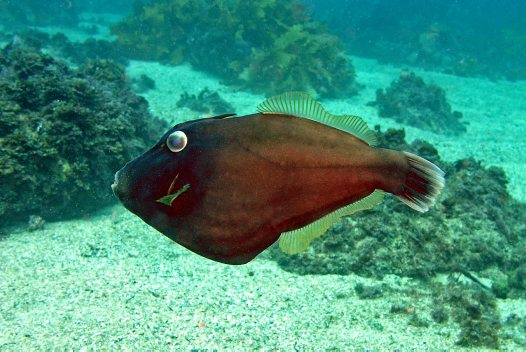 Black Reef Leatherjacket at Jervis Bay