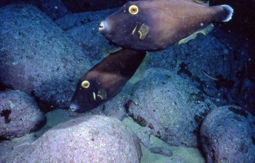 Black Reef Leatherjackets at Shark Point