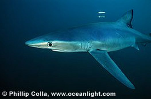 A Blue Shark off the coast of San Diego