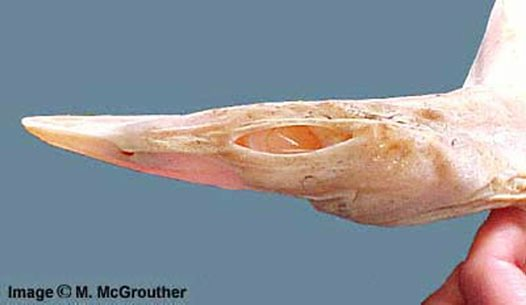 Head of an albino Brier Shark