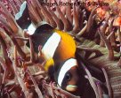 A Wideband Anemonefish at Fish Rock