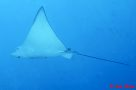 Whitespotted Eagle Ray, Aetobatus ocellatus