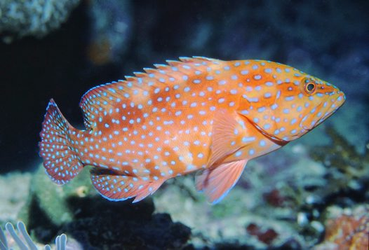 A Coral Cod at 'Pixie's Pinnacle'