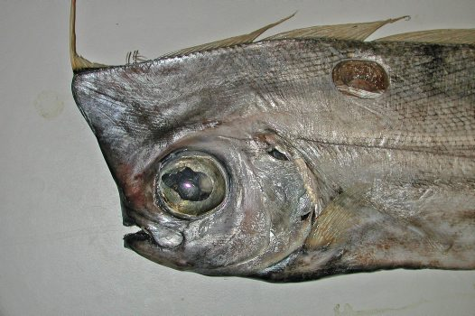Head of a Crested Bandfish