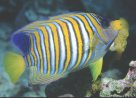 Regal Angelfish Pygoplites diacanthus at Horseshoe Reef