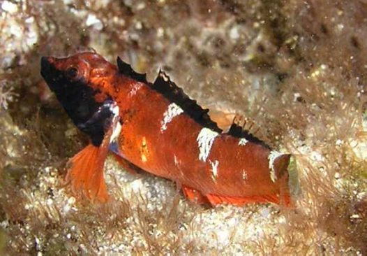 A Ringscale Triplefin at Port Kembla