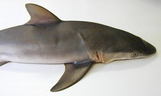A Silky Shark from Sydney Fish Market