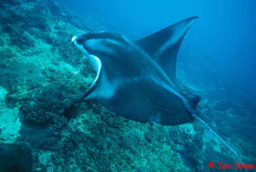 Alfred Manta at North West Solitary Island